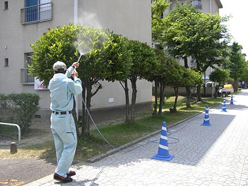 サンゴジュに薬剤散布中 サンゴジュ(珊瑚樹)に薬剤散布中 桜に薬剤散布中  薬剤散布 防虫対策: